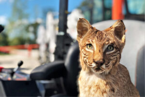 Taxidermied Bobcat Sits In Front Of Bobcat Equipment