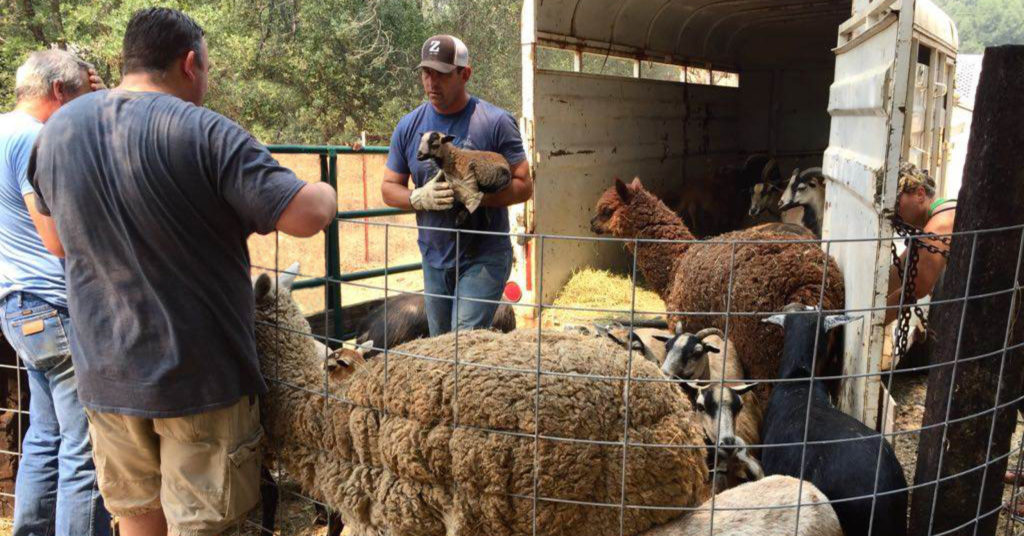 Tucker Zimmerman stands in a pen with animals he rescued, including sheep, llamas, and goats.